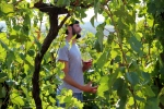 Assistant wine maker in the vineyards